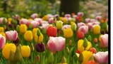 石象湖郁金香节赏花一日游